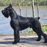 Ризеншнауцер щенки чёрного окраса, Самара