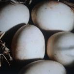 Яйца белой индоутки, Самара