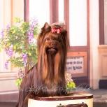 Кобель йоркширский терьер, шоколадный. на вязку, Самара
