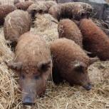 Венгерская мангалица (свиньи), Самара