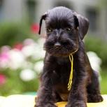 Цвергшнауцер, щенок, чёрного окраса, Самара