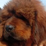 Тибетский мастиф щенки, Самара