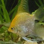 Рыбка скалярия, Самара