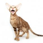 Шоколадный мраморный ориентальный котик, Самара