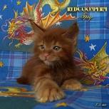 Котята мейн кун красные из питомника Redcoonperm, Самара