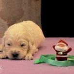 Золотистые ретриверы щенки для семьи и спорта, Самара