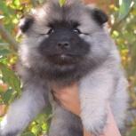 Породные щенки вольфшпица (кеесхонда), Самара