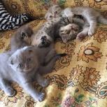 Шотландцы,котики, Самара