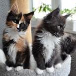 Котята мейн-кун полидакты, Самара