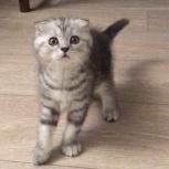Котенок вислоухий девочка, Самара