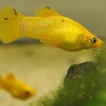 Моллинезия жёлтая, Самара