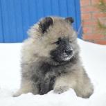 Породный щенок кеесхонда (вольфшпица), Самара