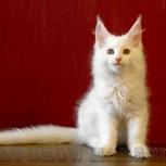 Котик Мейн-кун -белый солид (желтоглазый), Самара