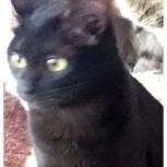 Красотка кошка в добрые ручки стерилизована, Самара