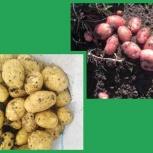 Картофель оптом от фермеров Краснодарского края, Самара