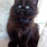 Котята Мейн кун девочки, Самара