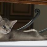 Абиссинские кошки, Самара