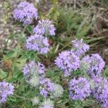 Зизифора - редкое пряное и лекарственное растение. Семена с доставкой., Самара