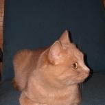 Мегаласковая кошечка абрикоска ищет любящую семью, Самара