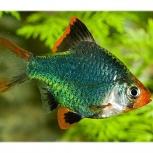 Рыбка барбус, Самара