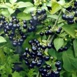 Санберри - садовый крупноплодный паслен. Семена почтой по России., Самара