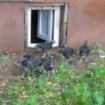 Подрощенные цыплята, Самара