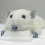 Уничтожение крыс. Дератизация. Выведение крыс. Уничтожение грызунов, Самара