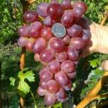 Саженцы элитных сортов неукрывного винограда, Самара