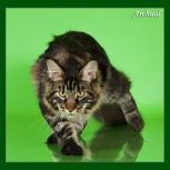 Котята Мейн кун из питомника Golden Glory, Самара