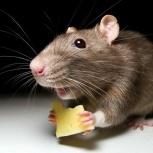 Уничтожение мышей. Дератизация. Выведение мышей. Уничтожение грызунов, Самара